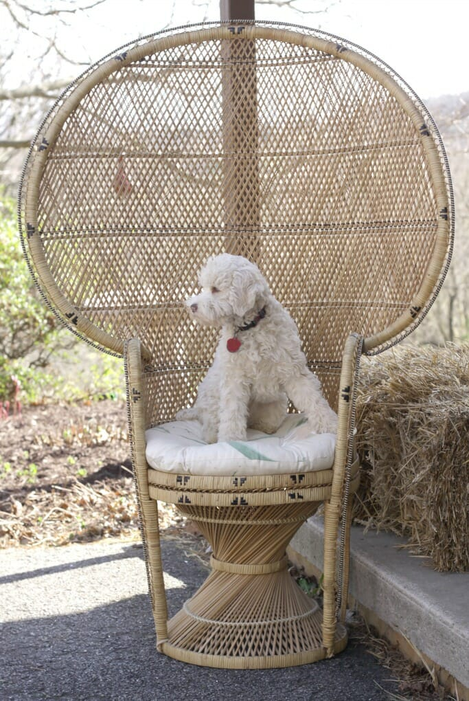 Snowball in Wicker Peacock Chair